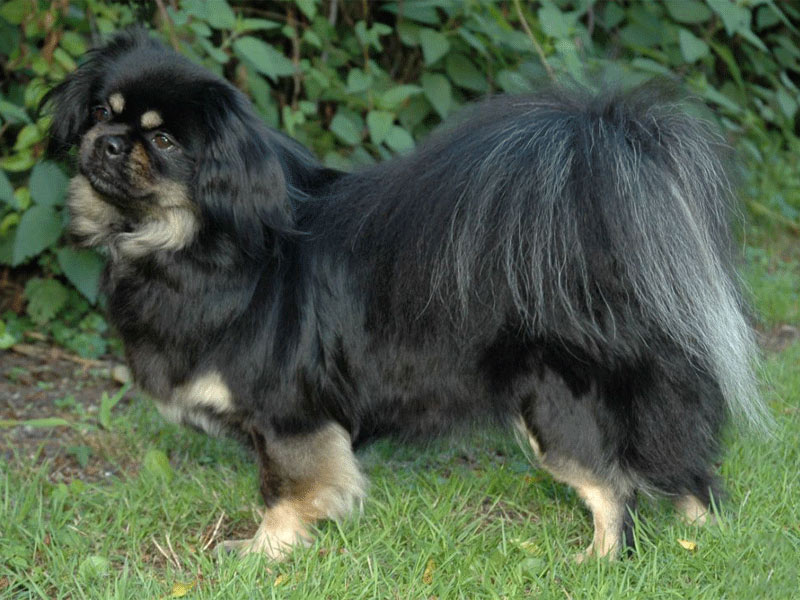 Tibetaanse spaniel black and tan